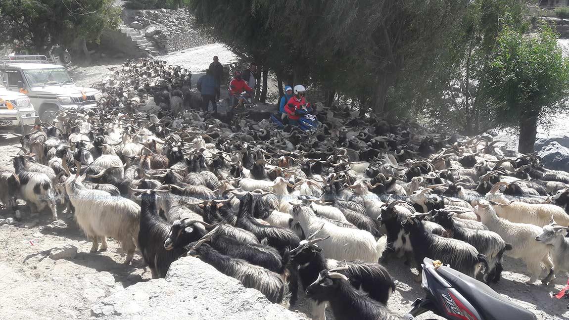 सुपथ पसल आजबाट : पाँच हजार खसी/बोका, च्याङ्ग्रा ल्याइने